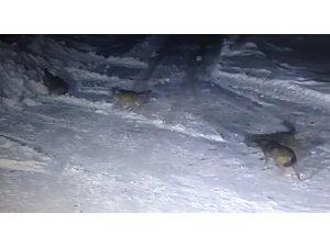 Aç kurtlar köye indi, köpekleri parçaladı