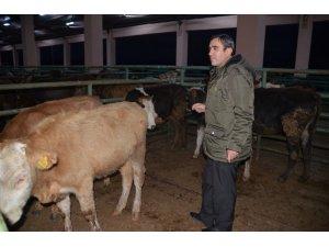 Muş'ta 62 genç çiftçiye 310 büyükbaş hayvan dağıtıldı