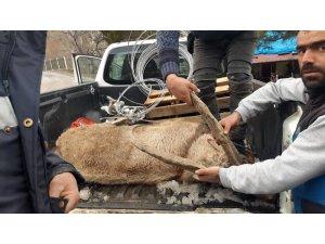 Yaralı dağ keçisi kurtarılamadı