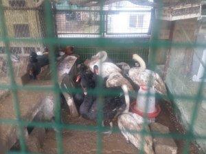 Yabani kanatlı hayvan operasyonu