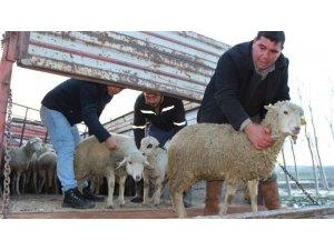 Gençlere 476 küçükbaş hayvan dağıtıldı