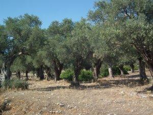 Zeytin üreticileri kazanamıyor