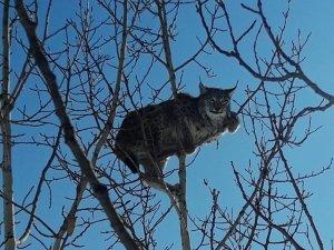 Köpekten kaçan 'vaşak' kavağa tırmandı
