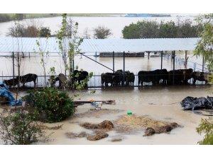 Sulama kanalı taştı, çiftlikteki hayvanlar su içinde kaldı