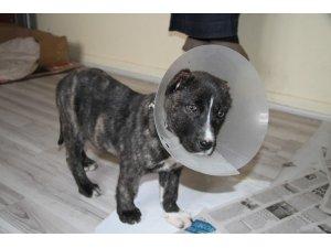 Yavru köpek kulakları kesilmiş halde bulundu
