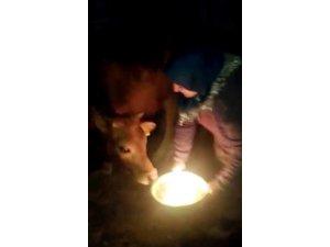 1 yaşına giren danasına doğum günü yaptı