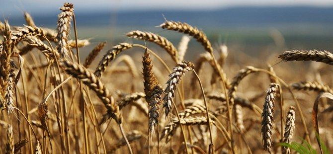 Türkiye'ye buğday sevkiyatı yüzde 40 arttı