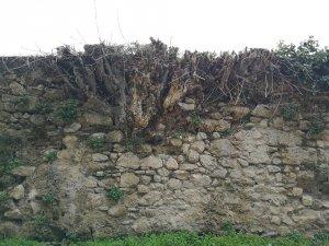 Tarihi su kemerlerini incir ağaçları istilâ etti