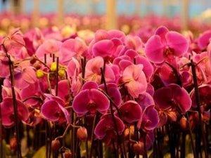 Gülde üretim düştü, orkidede arttı