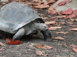 Galapagos Adaları'nda nesli tükendiği sanılan kaplumbağaya rastlandı