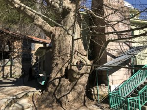 Mahallenin ismini aldığı bin yıllık Çınar ağacı yıllara meydan okuyor