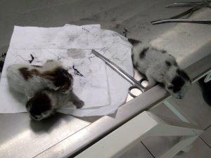 Yapışık dördüz yavru kediler ameliyatla birbirinden ayrıldı