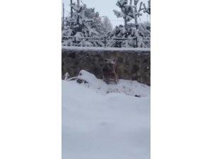 Kışın geri gelmesiyle ayılar ilçe merkezine indi