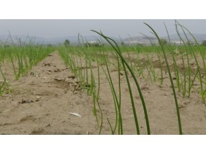 Amasya'da soğan dikim alanı yüzde 30 arttı