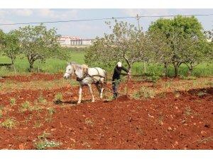 Fıstık bahçeleri atla sürülüyor