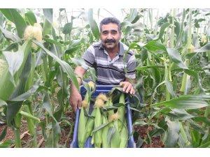 Antalyalı çiftçi serasında ezber bozdu