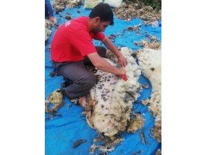 Mardin'de koyun kırkma sezonu başladı