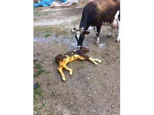 Sezaryen ile doğum, sadece insanlarda değil hayvanlarda da giderek artan bir durum