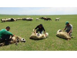 Muş'ta koyun kırkma sezonu başladı