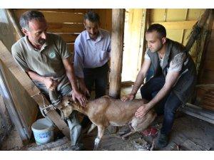 Artvin'de köpeklerin saldırdığı yaban keçisini barajın özel güvenlik personeli kurtardı