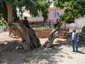 Asırlık ağaç görenleri büyülüyor
