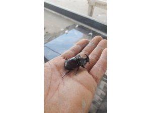Aydın'da gergedan böceği bulundu