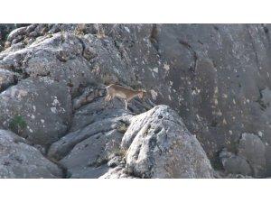 Nesli tükenmekte olan dağ keçileri Elazığ'da görüntülendi