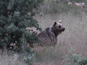 Anne boz ayı ve yavruları, yiyecek ararken görüntülendi