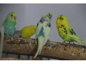 Evinde 130 kuşla yaşıyor