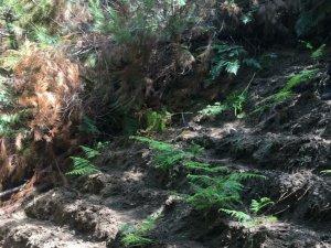 Ormanlık alana ekilmiş 512 kök hint keneviri ele geçirildi