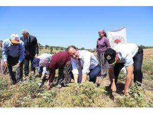 Başkan Örki, çiftçilerle ilk kekik hasadını yaptı