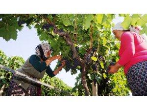 Sarıgöl'ün ilk üzümleri Rusya'ya