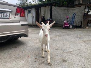 Sahibinden kaçan keçiyi zabıtaya teslim ettiler