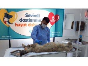 Karnındaki kistle yaşam mücadelesi veren sokak köpeğinin yardımına Başakşehir Belediyesi koştu