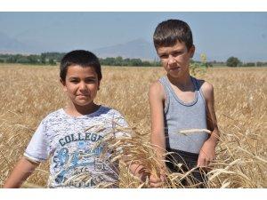 Buğdayın atası olarak bilinen siyez buğdayında hasat sevinci
