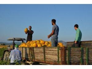 Kırkağaç kavununda ilk hasat yapıldı