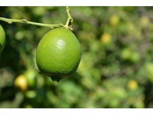 Dalaman TİGEM'de limon ihalesi