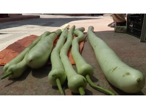Sandıklı'da boyu iki metreyi geçen organik kabaklar
