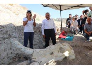 Kayseri'de 7 buçuk milyon yıllık 'Choerolophodon' fosili bulundu