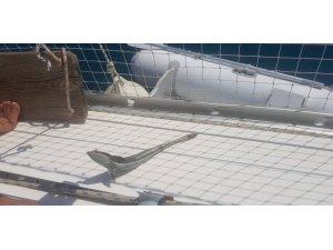 Kaş'ta vantuz balığı yakalandı