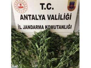 Alanya'da jandarmadan uyuşturucu bitki yetiştirenlere baskın