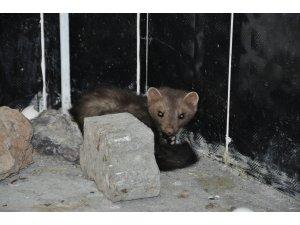 Kars'ta tedavisi tamamlanan Kaya Sansarı doğaya bırakıldı