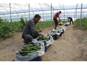 Yüzde 50 hibe ile kurduğu serada günlük 3 ton salatalık hasat ediyor