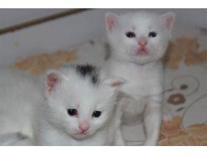 Van kedilerinin başındaki 'mühür' şaşırtıyor