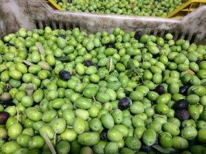Mut'ta zeytin hasadı 10 gün önce başladı