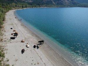Krater gölü kıyısında yatan inekler kimini korkuttu, kimini şaşırttı