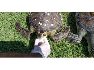 2 yeşil deniz kaplumbağası ölü olarak bulundu
