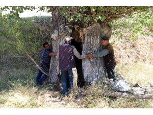 Kavak ağacının kovuğuna 5 kişi sığdı