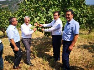 Dalaman'da yılın ilk incir hasadı gerçekleştirildi