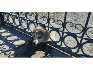 Kafası demir korkuluklara sıkışan yavru köpek kurtarıldı